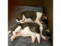 Kc Registered American Akita puppies