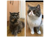 Waiting list open Exotic Shorthair