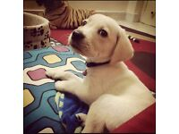 Baby Labradors for sale need going ASAP