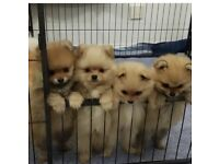 Pomeranian puppy for sale male and female
