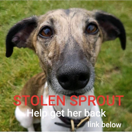 Stolen Whippet Sprout Wendell Road W12