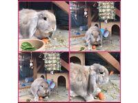 Lop beige rabbit 3 year old