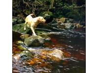 Dark Golden Labrador