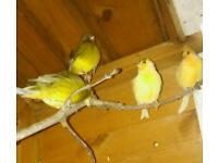 Fife canaries and zebra finches for sale