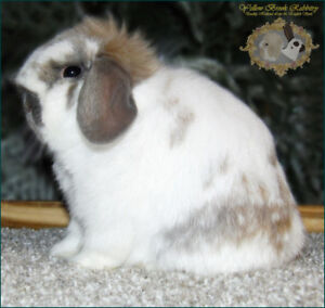 Holland Lop Bunny- Very friendly great pet