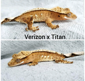 BUY ONE GET ONE FREE CRESTED GECKO