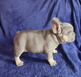 French bulldog pups amazing quality