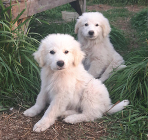 Great Pyrenese Pups!