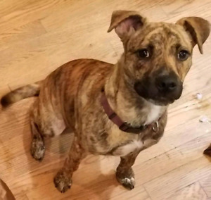 Niagara Dog Rescue - Ivey is a Mellow Pup