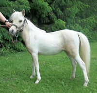 Stunning Yearling AMHR Palomino Pinto Filly