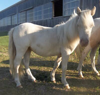Small Refined Yearling AMHR Cremello Pinto Filly