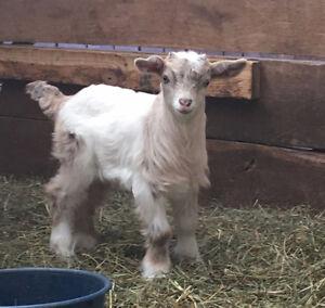 Perfect Pets - Adorable Purebred Miniature Fainting Goats London Ontario image 6
