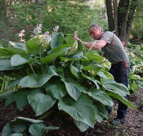 """hosta EMPRESS WU large huge green disease free 2.5"""" pot = 1 Live Potted Plant"""