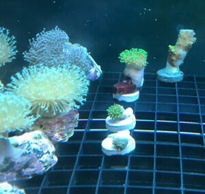 Toadstool leather Coral lots sizes types long tentacle saltwater