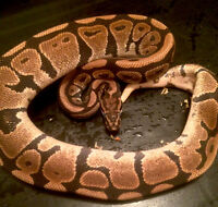 2 proven breeder male ball pythons