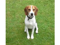 Hansome 6 month old male Beagle