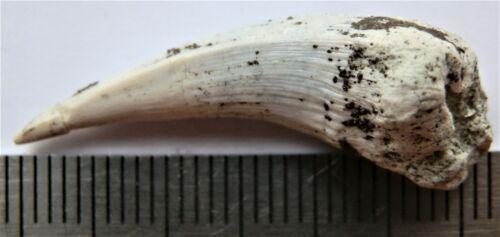 Devonian fish big tooth 33 mm. Family Holoptychiidae. RARE SPECIMEN!