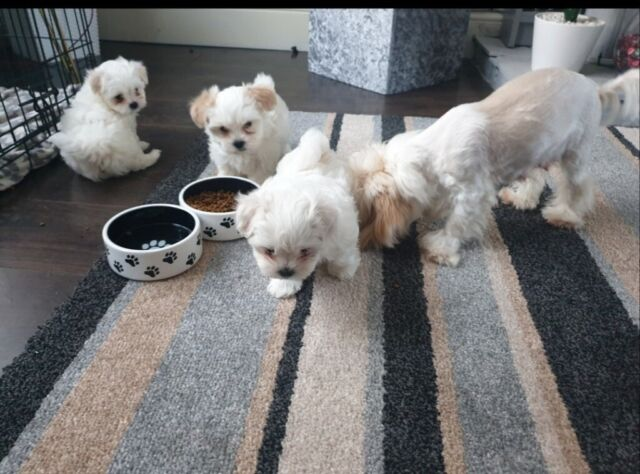 Gorgeous Maltese Maltipoo Puppies Two Boys One Girl In Bishopbriggs Glasgow Gumtree