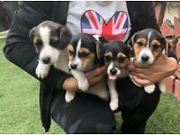 4 pure Jack Russell puppies for sale