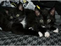 Gorgous black and white kitten