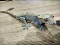 Male Crested Gecko for sale 8 years old (still young!) + full setup