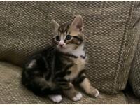 Turkish Angora X Norwegian Forest Kittens