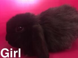 3 Netherland dwarf cross Sealpoint bunny rabbits