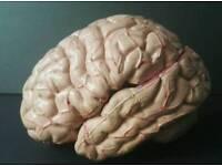 Anatomical Brain for sale  Warwickshire