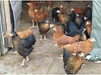CHICKENS RHODE ROCKS & BLACKTAIL HYBRID LAYERS VACCINATED