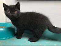 Black - Pedigree Registered GCCF British Shorthair Male Kitten