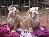 LILAC MERLE old English bulldog