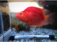 Red Parrot Fish Cichlid tropical fish