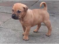 Sharpei cross Cane Corso puppies