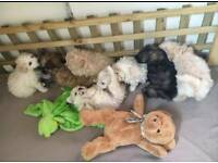 Bichon x Poodle Puppies