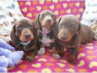 Adorable Miniature Dachshund Puppies - READY NOW!