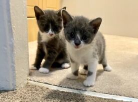 Beautiful Grey & White X Ragdoll kittens