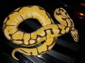 Bummblebee Royal Python