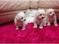 Bichon frise Puppys