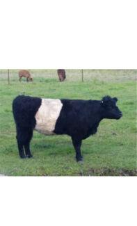 Miniature belted galloway heifer in Calf