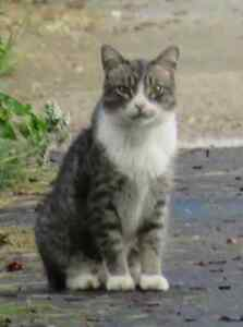 grey and white male tabby