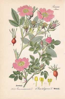 Rosa rubiginosa - Weinrose Zaunrose THOME Chromo-Lithographie von 1886