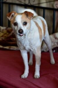 "Senior Female Dog - Terrier-Chihuahua: ""Roxy (foster needed)"""