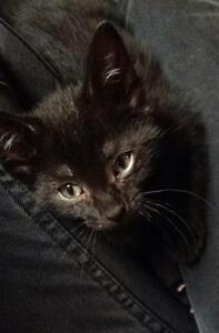 """Young Male Cat - Domestic Short Hair-black: """"Lenny"""""""