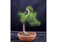 Quality Pinus Sylvestris Yamadori ready for styling