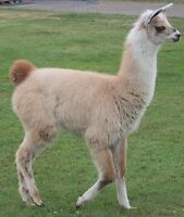 Young Lama for sale