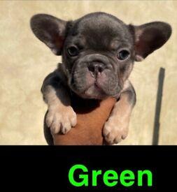 French bulldog puppies carrying Isabella £2,600