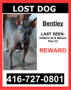 LOST DOG - Black/Grey / Mexican Hairless / Male - $$ Reward $$