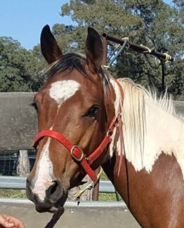TRIGGER project horse needs a new home in the next 2 weeks