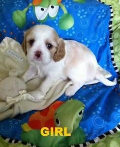 Schnauzalier puppies ( Mini Schnauzer x Cavalier ) Muswellbrook Muswellbrook Area Preview