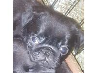 Beautiful black pug puppies ready now 11 weeks old